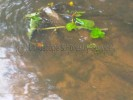 Site Investigation Japanese Knotweed floating in river thumb